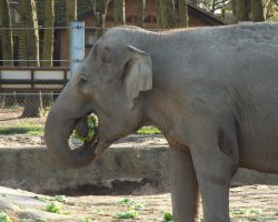 Twycross elephants will not forget their first hydroponic meal