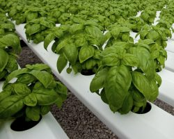 Considerations for growing, marketing basil – Greenhouse basil production