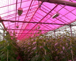 Soliculture greenhouse photovoltaic panels give growers a second harvest of  electricity without impacting plant growth