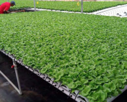 Factors to consider when choosing a substrate for lettuce production, greens production