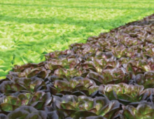 Insecticides Labeled for Greenhouse-grown Leafy Greens and Herbs