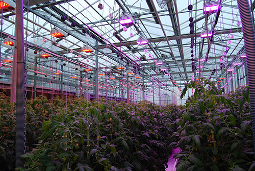Canadian researchers advance supplemental lighting for the greenhouse industry