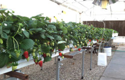 More research focusing on greenhouse food crops