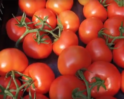 The Development of a Tomato from NatureFresh Farms