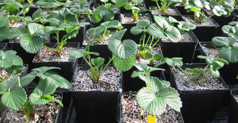 Deciding which strawberry varieties to grow in greenhouse production systems