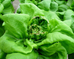 Prevent tipburn on greenhouse lettuce
