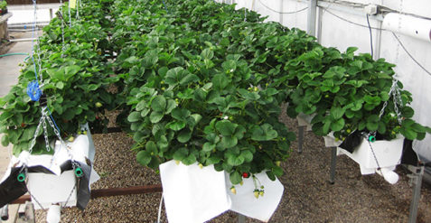 Strawberries can be adapted to greenhouse production systems