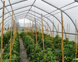 Michigan ornamental growers extend season with greenhouse vegetables