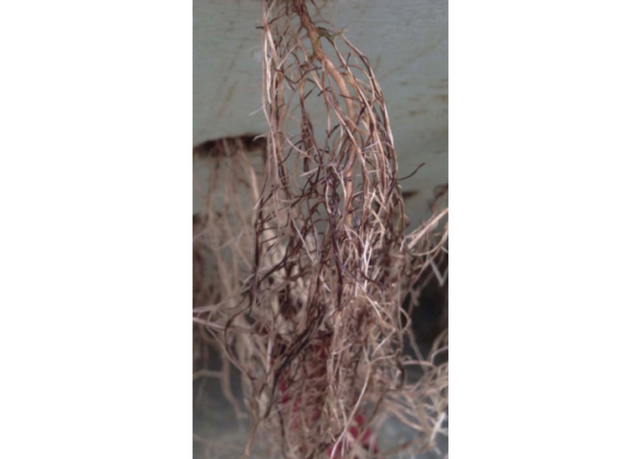 Pythium root rot on hydroponically grown basil and spinach